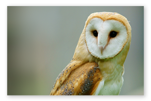 A close-up of a brown and white Barn Owl