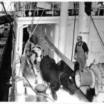 View on a cargo ship as cattle is being loaded.