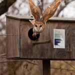Close-up of a Barn Owl leaving its nest box
