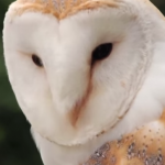 Close-up picture of a Barn Owl